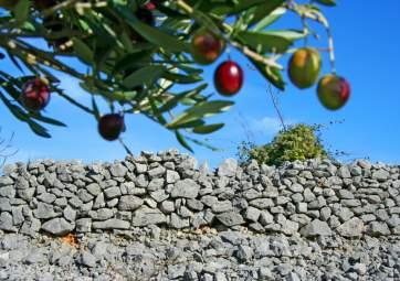 Degustazione dei pregiati oli d'oliva di Krk e visita all`oliveto